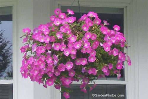 Petunia (probably) 'Corona Rose Rim' in hanging basket. Image ©GardenPhotos.com