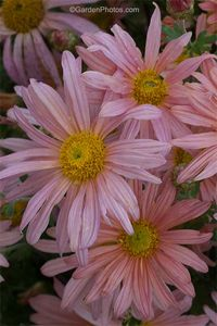 Chrysanthemum 'Clara Curtis' - No, this is not a Leucanthemum. Image ©GardenPhotos.com (all rights reserved)