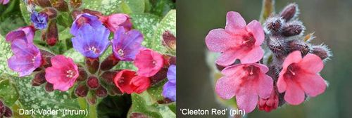Pulmonaria 'Dark Vader' (thrum eyed, left, Image © Terra Nova Nurseries) and 'Cleeton Red' (right, Image © GardenPhotos.com)