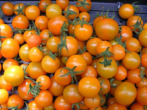 'Sungold', one of the top tasting tomatoes in both the US and UK taste tests. Image ©Jacquie Gray/RHS