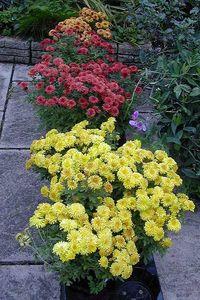 Chrysanthemum Igloo Series - No, not Dendranthema. Image ©Blooms of Bressingham