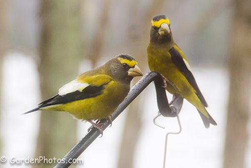 Evening Grosbeaks waiting their tun on the feeder. Image ©GardenPhotos.com