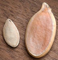 World record pumpkin seed, and ordinary pumpkin seed. Image ©Thompson & Morgan