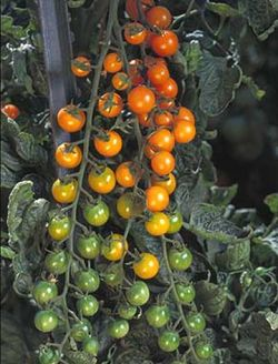 'Sun Sugar', voted best tasting in the Morninsun Herb  Farm tomato taste test last year. Image ©Morningsun Herb Farm