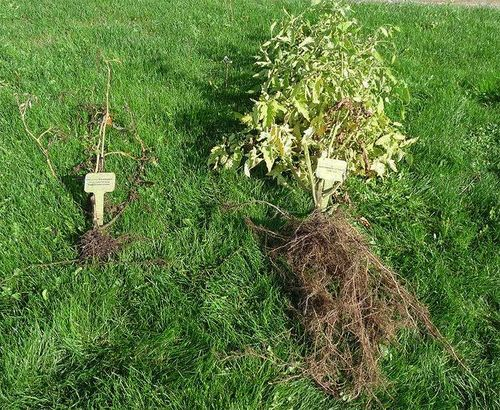 Roots of Tomato 'Brandywine': Grafted and Non Grafted. Image ©Log House Plants.