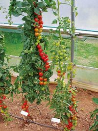 Tomato 'Elegance': Grafted and Non-Grafted. Image ©Suttons Seeds
