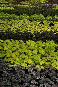 Heuchera plants ready for sale at Heucheraholics nursery. Image ©GardenPhotos.com)
