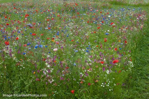 Floral Meadow at the RHS Garden at Wisley. Image ©GardenPhotos.com