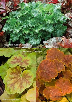 Heuchera 'Apple Crisp' (above) and 'Tiramisu'. Images Terra Nova Nurseries and GardenPhotos.com