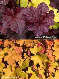 Heuchera 'Midnight Rose' (above) and 'Caramel'. Images ©GardenPhotos.com