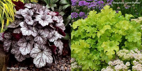 Heuchera 'Glitter' (left) and 'Lime Ruffles'. Images ©Terra Nova Nurseries