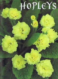 Double primrose 'Torchlight' - have you seen it? Image ©Hopleys Nursery