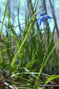 Siberian squill, Scilla siberica, growing in Sullivan County, NY. Image ©GardenPhotos.com