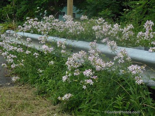 Soapwort, Saponaria officinalis, growing by a PA roadside. Image ©GardenPhotos.com