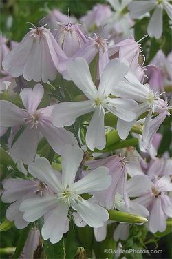 Soapwort, Saponaria officinalis, is established in 48 states. Image ©GardenPhotos.com