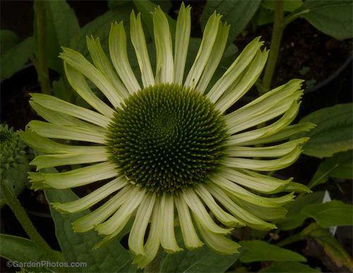 Echinacea 'Green Jewel'. Image ©GardenPhotos.com