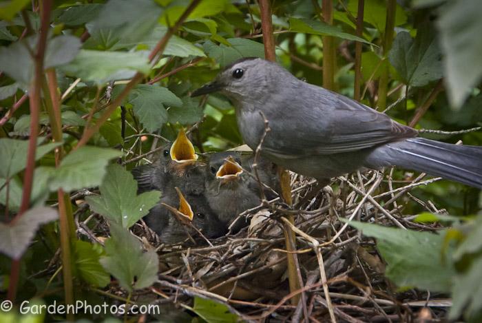Gray-Catbird-Babies-Nest-_J047691