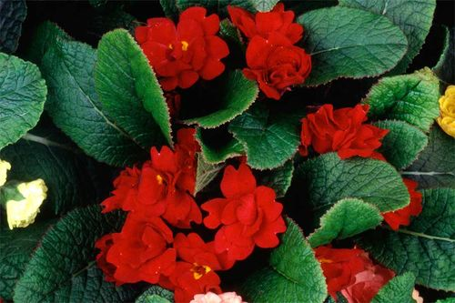Double primrose 'Red Velvet' - have you seen it?