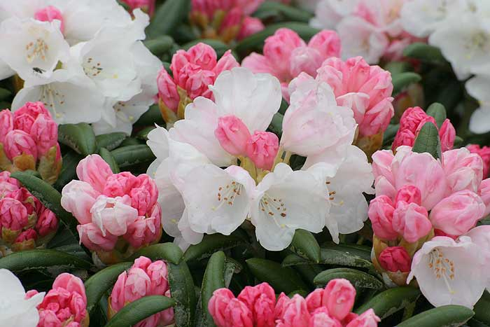 Rhododendron-700