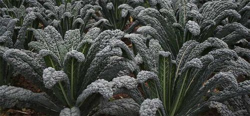 Kale 'Black Magic': more uniform, shorter stems, and even tougher. Image ©Tozer Seeds