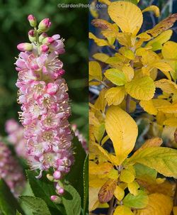 Clethra alnifolia 'Ruby Spice' in flower and in fall color. Images ©GardenPhotos.com