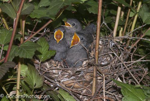 Gray Catbird babies demanding food (J047769). Image ©GardenPhotos.com