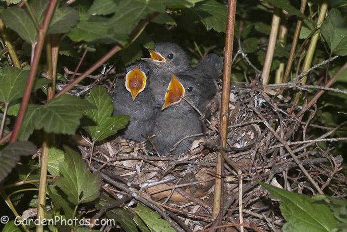 Gray-Catbird-Baby-Birds-Nest-_J047769