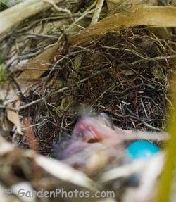 CNewly hatched Gray Catbird chick and egg (J047288). Image ©GardenPhotos.com