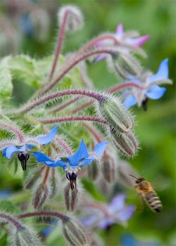 Borage, Borago officinalis, is the ultimate honeybee plant. Image