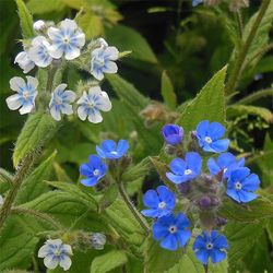 Pentaglottis sempervirens (Green Alkanet) in its usual blue, and a new form. Image © GardenPhotos.com