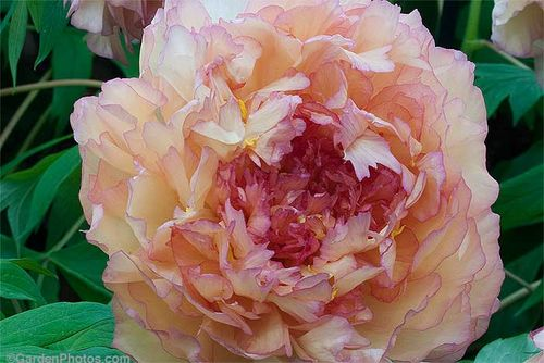 Paeonia 'Souvenir de Maxime Cornu' - 'of perfect form' says James Kelway. Image ©GardenPhotos.com