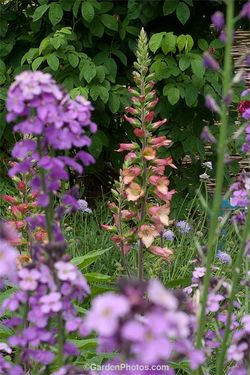 Digitalis 'Illumination-Pink' seen through Erysimum 'Bowles Mauve' at Foxtaill Lilly. Image ©GardenPhotos.com