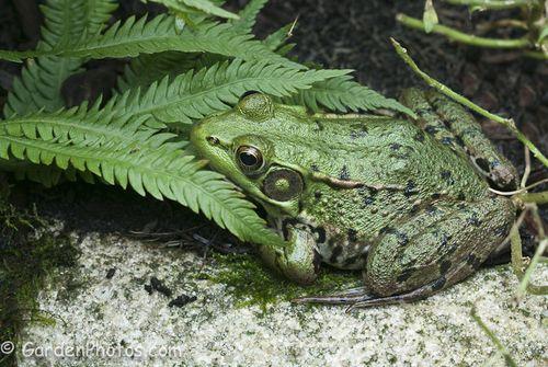 Green Frog (Rana clamitans) keeping an eye out for slugs (J048009). Image ©GardenPhotos.com