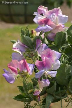 Sweet Pea 'Cherub Northern Lights' in a hanging basket in the UK in June. Image ©GardenPhtos.com
