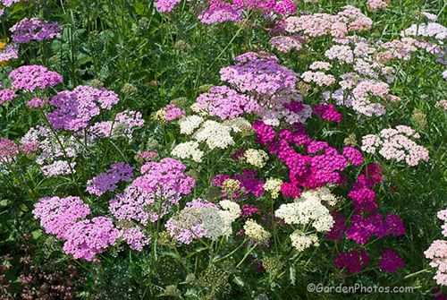 Achillea 'Summer Berries': easy to raise from seed. Image ©GardenPhotos.com