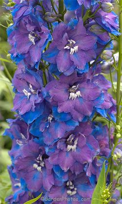 Delphinium 'Guardian Blue': even Bob Brown suggests growing delphiniums from seed. Image ©GardenPhotos.com