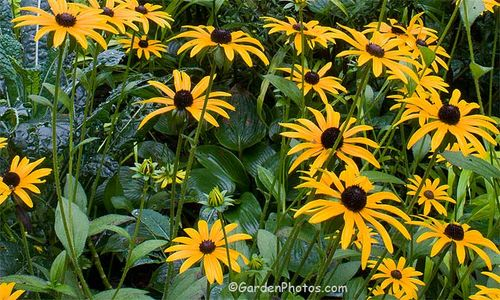 Rudbeckia 'Goldsturm': 99.9% true from seed, and easy. Image ©GardenPhotos.com