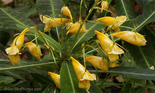 Impatiens omeiana in flower in September. Image ©GardenPhotos.com