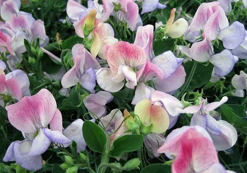 Sweet Pea 'Cherub Northern Lights', gorgeous colours on a dwarf plant. Image ©Mark Rowland