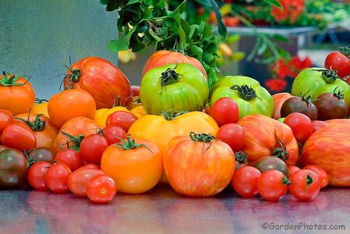 The Tomato Growers Supply Company will send seed of a vast range of heirloom tomatoes to British gardeners. Image ©GardenPhotos.com