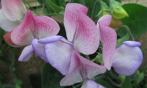 Sweet Pea 'Northern Lights', a unique dwarf variety. Image ©Mark Rowland