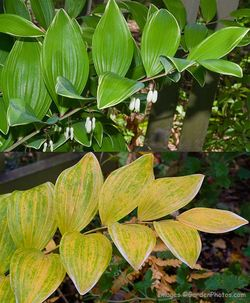 Polygonatum odoratum var. pluriflorum 'Variegatum' - summer and autumn foliage. Image ©GardenPhotos.com