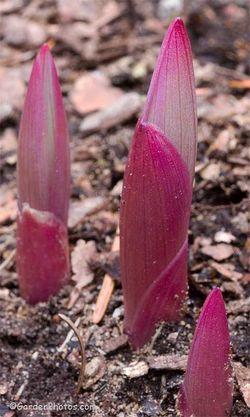 Polygonatum odoratum var. pluriflorum 'Variegatum' - colorful spring shoots. Image ©GardenPhotos.com