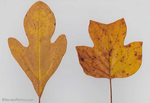 Sassafras albidum (left) and Liriodendron tulipifera: two fine trees of the eastern American forests. Image ©GardenPhotos.com