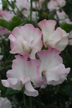 'Deborah Devonshire': a lovely picotee sweet pea from Myers Sweet Peas. Image © Myers Sweet Peas