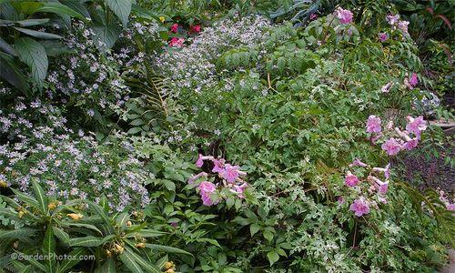 Podranea ricasoliana 'Pink Delight'Ampelopsis brevipedunculata var. maximowiczii 'Elegans' and perennials. Image ©GardenPhotos.com