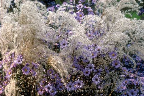 Aster laevis 'Bluebird' intermingling happily with Miscanthus sinensis 'Kleine Fontaine'. Image ©GardenPhotos.com