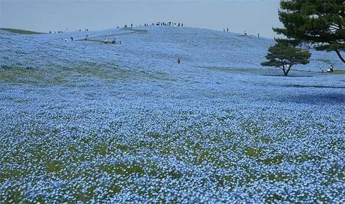 The American native Nemophila menziesii making a fine display at Japan's Hitachi Seaside Park. Image ©Luc Klinkhamer