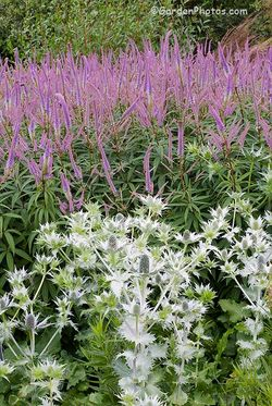 Eryngium giganteum and Veronicastrum 'Fascination' making self-contained clumps. Image ©GardenPhotos.com