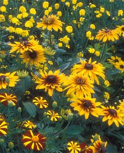 Four different annual yellow daisies planted to mingle together. Image ©GardenPhotos.com)